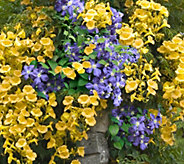 Cottage Farms Royal Gold Climbing Campsis & Clematis Duo - M57022