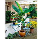 Robertas 2-pc. Fast Fruiting Grand Nain Banana Plant - M25923
