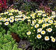 Robertas 6-piece Double Flowered Shasta Daisy - M49123