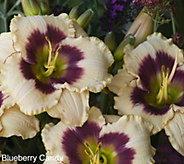 Cottage Farms 6-pc Candy Colors Daylily Collection - M53224