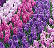 Robertas 20 piece Scent of Spring Hyacinth Mix - M54924