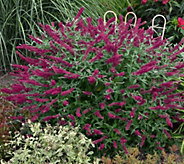 Cottage Farms Supreme Color Summer Sangria Butterfly Bush - M57024