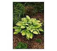 Robertas 6 Piece Gold Standard Large-Sized Hosta - M105725