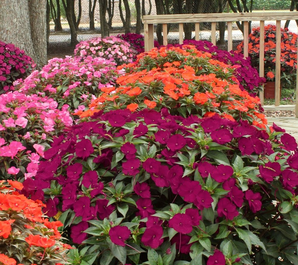 Cottage Farms Razzle Dazzle SunPatiens Collection