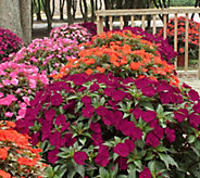 Cottage Farms Razzle Dazzle SunPatiens Collection - M49025