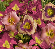 Cottage Farms 6-pc Fragrant Pretty in Pink Daylily Collection - M53225