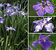 Cottage Farms 3-Piece Jumbo Japanese Iris Set - M58825
