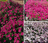 Cottage Farms 6-piece Tidal Wave Petunia Collection - M47426