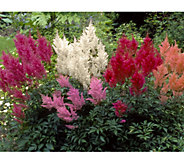 Cottage Farms 5-piece Supreme Shady Astilbe Collection - M56626