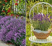 Cottage Farms 4-Piece Dwarf Fragrant Purple Lavender - M58826