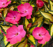 Cottage Farms 8-Pc Hot Pink Lightning SunPatiens Collection - M49027