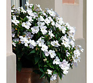 Cottage Farms 6-piece Bright Lites Sunpatiens Collection - M47428