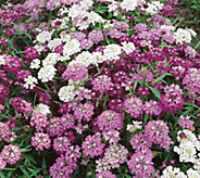 Robertas 6-piece Early Flowering Sweet Candytuft - M49128