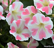 Robertas 6-piece Two Hearts Petunia Collection - M53128