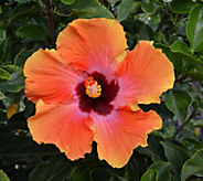 Cottage Farms Fiesta Braided Tropical Hibiscus Patio Tree - M53228