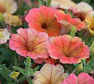 Cottage Farms 4-pc Indian Summer Multi- Colored Petunia Auto-Delivery - M53928