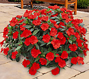 Cottage Farms 6-piece Cherry Bomb Sunpatiens Collection - M47429