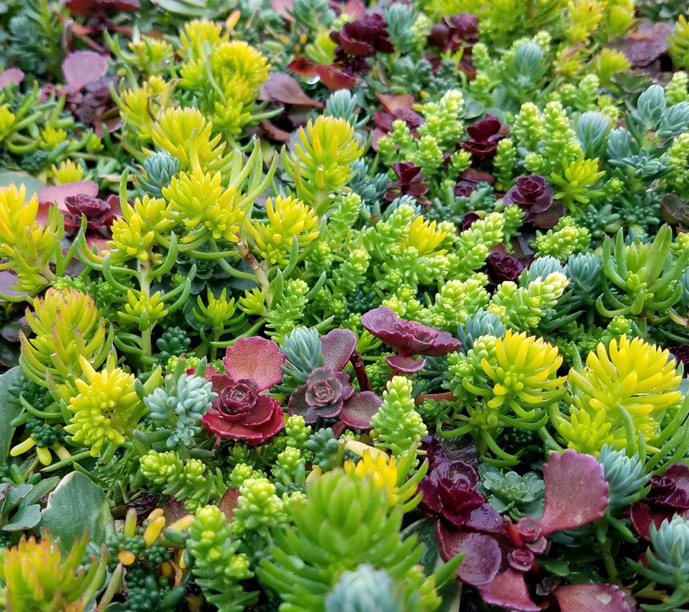 Cottage Farms Artists Palett Savvy Sedum Succulent Collection