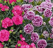 Cottage Farms 4-piece Fragrant Delilah Dianthus - M49830