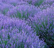Cottage Farms 6-piece SuperBlue Lavender Collection - M57230