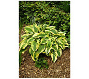 Robertas 6 Piece Wide Brim Medium-Sized Hosta - M105731