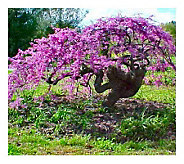 Cottage Farms Lavender Twist Redbud Tree - M106031