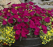 Cottage Farms 6-piece Merlot Magic Sunpatiens Collection - M47431