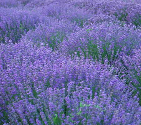 Lavender Big Time Blue Lavenders At Burpee Com - Imagez co