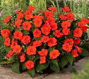 Cottage Farms 6-Piece_Electri c Orange SunPatiens - M57832