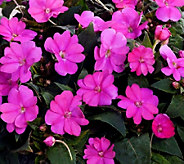 Cottage Farms 6-piece Amethyst Glow Sunpatiens Collection - M47433