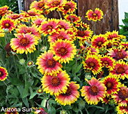 Robertas 6-piece Arizona Native Blanket Flower - M49133