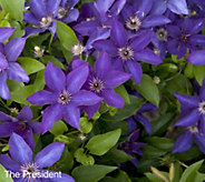 Cottage Farms Coloriscious Clematis Trio - M49034