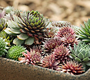 Robertas 9-piece Hardy Succulent Trio Collection - M53134