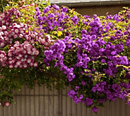 Cottage Farms 2-pc Fragrant Climbing Rose Duo - M53234