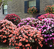 Cottage Farms Color Jubilee SunPatiens Collection Auto-Delivery - M53934