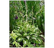 Robertas 6 Piece Mediovariegata Small Hosta - M105735
