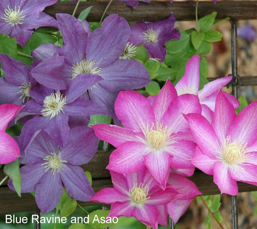 Cottage Farms Dazzling Design Clematis Duo