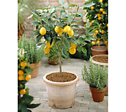 Robertas Quick Fruiting Meyer Lemon Patio Tree - M50135