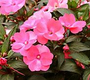 Cottage Farms 6-Piece Paradise Pink SunPatiens - M57835