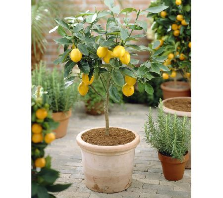Roberta's Quick Fruiting Meyer Lemon Patio Tree