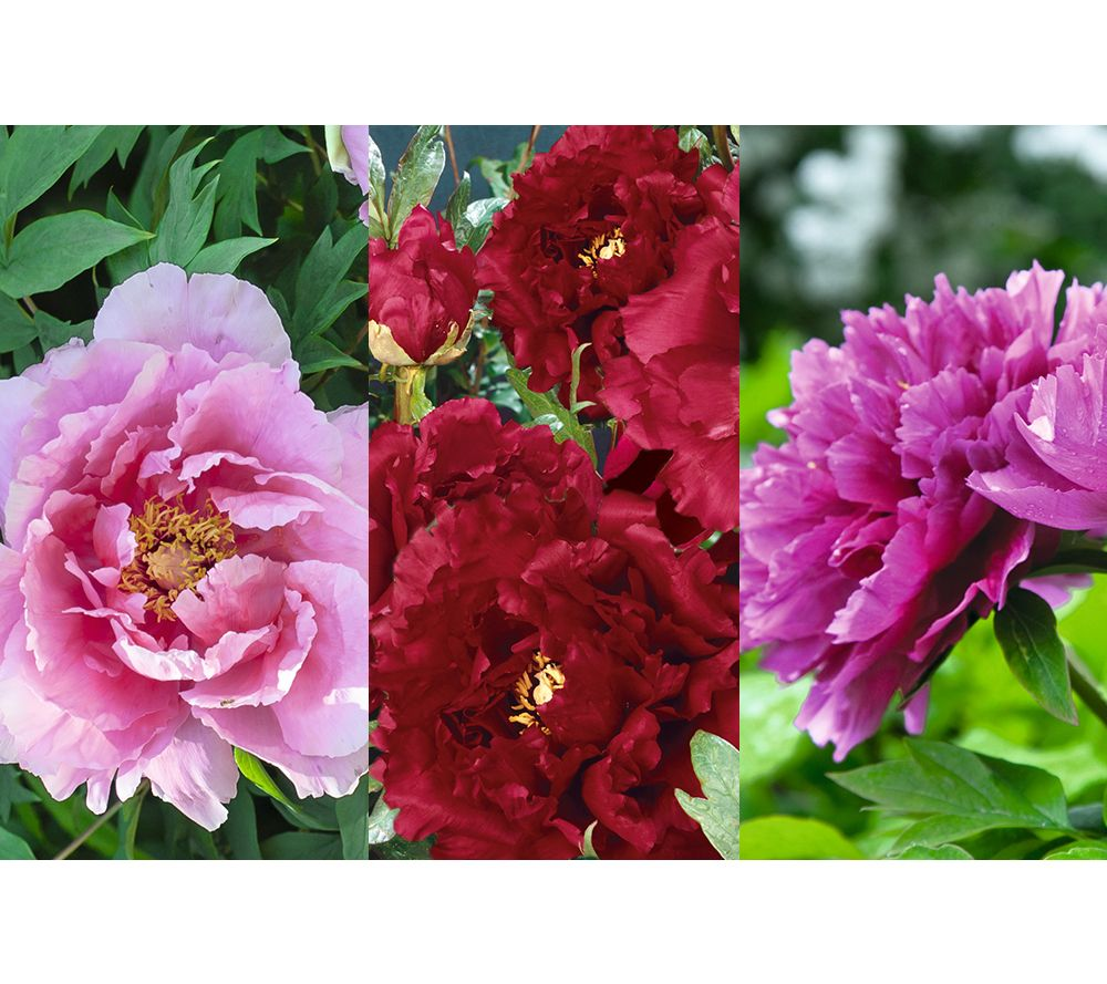 Roberta's 1-pc. Long Lived Ancient Chinese Tree Peony