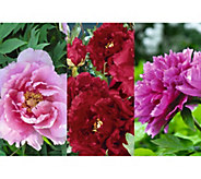 Robertas 1-pc. Long Lived Ancient Chinese Tree Peony - M46437