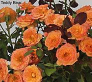 Cottage Farms 6-pc Rainbow Miniature Rose Collection - M53237