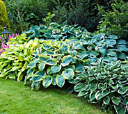 Robertas 6-piece Large Leafed Hosta Collection - M54637