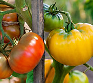 Cottage Farms Ultimate 2-N-1 Tomato Duo - M57837