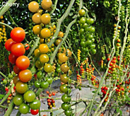 Cottage Farms 2-N-1 Mighty Mato Grafted Cherry Tomatoes Auto-Delivery - M53940