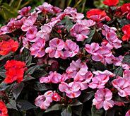 Cottage Farms 6-Piece Candy Kisses SunPatiens - M57840