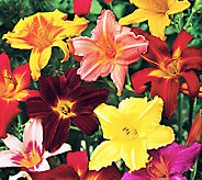 Robertas 10pc. All Fragrant Re-Blooming Scentsational Daylilies - M46343
