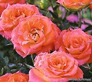 Cottage Farms 4-piece Sunblaze Miniature Rose Collection - M56643