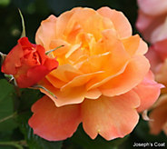 Cottage Farms Fragrant Color Burst Climbing Rose Duo - M57243